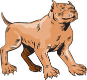 Pitbull Dog Mongrel Standing Etching Royalty Free Stock Images