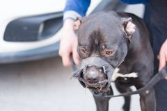 Pitbull dog. Looks quite dangerous. dog mouthpiece fitted.not to bite in the event of an attack attacker predatory wild nozzle protection domestic pet owner stock photo