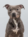 Pitbull dog portrait. Adult pitbull dog looking in the camera a a grey background royalty free stock image