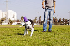 Pitbull Running After Dog Toy on Park Grass Stock Photos