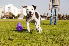 Pitbull Running after Dog Chew Toy. A Pitbull dog running after its chew toy with its owner standing close by Royalty Free Stock Images
