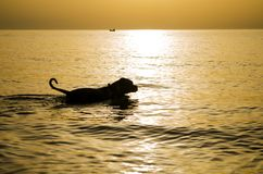 Dog on water with golden sun light stock images