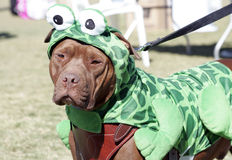 Pitbull dressed as a Frog. An Pitbull dressed up as a frog for Halloween Stock Photos