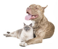 Pitbull e un gatto Fotografia Stock