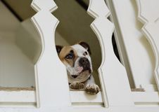Pitbull in einem Dachboden lizenzfreie stockbilder