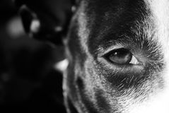 Pitbull Eye. Black and White photography of the dog eye. Photo of my beloved pitbull puppy royalty free stock image