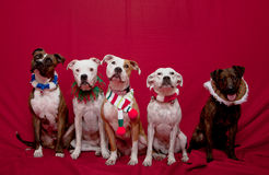 Pitbull family Christmas portrait. A pitbull family Christmas portrait - two bridle on the sides and 3 white in the middle Stock Images