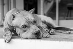 Pitbull feels lonely and sad. Dog Pitbull feels lonely and sad stock photos