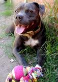 Pitbull feliz foto de stock