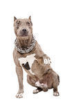 Pitbull gives paw Royalty Free Stock Photography