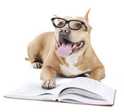 Pitbull in glasses. With a book on white background studio royalty free stock images