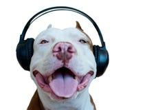 Pitbull with headphone. Pittbull Dog listening to music stock image