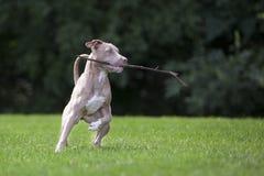 Pitbull het Spelen met een Stok royalty-vrije stock fotografie