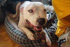 Pitbull heureux et x22 ; Doobie& x22 ; Images libres de droits