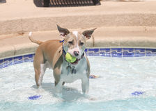 Pitbull holding her ball in the pool Stock Image