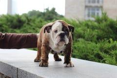 Pitbull hund Royaltyfri Bild