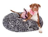 Pitbull-Hund gekleidet im Rosa Stockfotos