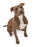 Pitbull-Hund mit unschuldigem Blick Stockfotografie