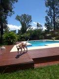 Pitbull hund royaltyfri foto