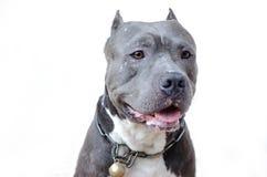 Pitbull hund fotografering för bildbyråer