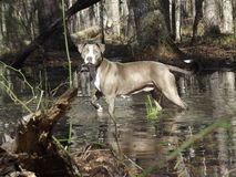 Pitbull hunting Stock Image