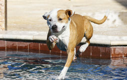 Pitbull jumping into the pool Royalty Free Stock Photography