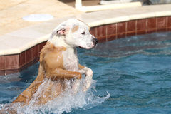 Pitbull jumping into the pool Royalty Free Stock Photo