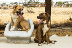 Pitbull Labs. One male, one female pitbull labrador mixed puppies/dogs stock photography
