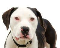 Pitbull lokalisiert auf Weiß Lizenzfreie Stockfotografie