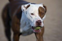 Pitbull met een bal Stock Foto