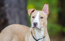 Pitbull mezcló el perro de la raza Imagen de archivo libre de regalías