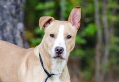 Pitbull mezcló el perro de la raza Fotografía de archivo libre de regalías