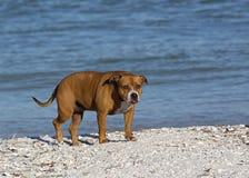 Pitbull mischte Zuchthund Stockfotografie