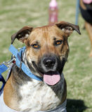 Pitbull mix playing at the park Stock Photography