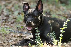 Pitbull mixed breed dog with red collar Royalty Free Stock Images