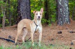Pitbull mixed breed dog Royalty Free Stock Images