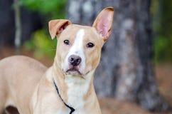 Pitbull mixed breed dog Stock Photos