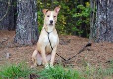 Pitbull mixed breed dog Stock Photo