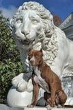 Pitbull near lion Royalty Free Stock Image