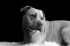 Pitbull noir et blanc Photos libres de droits