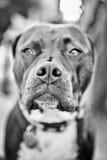Pitbull nose Stock Image