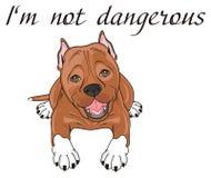 Pitbull not dangerous. Brown pitbull lying under the black words Stock Photo