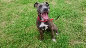 Pitbull pies zdjęcia stock