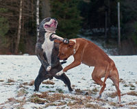 Pitbull play fighting with O.E. Bulldog. Red Pit bull play fighting with blue brindle Olde English Bulldog in the Snow Royalty Free Stock Photography