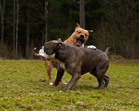 Pitbull play fighting with Olde English Bulldog. Red Pitbull play fighting with blue brindle Olde English Bulldog on a green summer field royalty free stock photos
