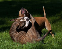 Pitbull play fighting with Olde English Bulldog. Red Pitbull play fighting with blue brindle Olde English Bulldog on a green summer field stock image