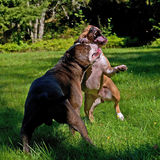 Pitbull play fighting with Olde English Bulldog. Red Pitbull play fighting with blue brindle Olde English Bulldog on a green summer field stock photos