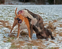 Pitbull play fighting with Olde English Bulldog Stock Images
