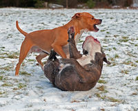 Pitbull play fighting with Olde English Bulldog. Red Pitbull play fighting with blue brindle Olde English Bulldog in the snow royalty free stock photography