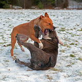 Pitbull play fighting with Olde English Bulldog. Red Pitbull play fighting with blue brindle Olde English Bulldog in the snow stock photos
